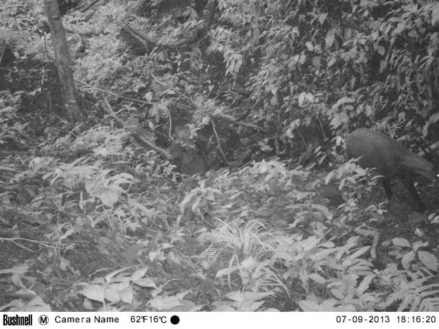 Bushnell Trophy Cam entdeckt das Saola-Rind