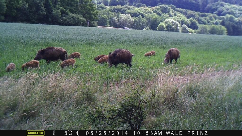 Erst wird die Wildschweinrotte vom rechten Sensor registriert.. - Bild: Wildkamera-Test.com
