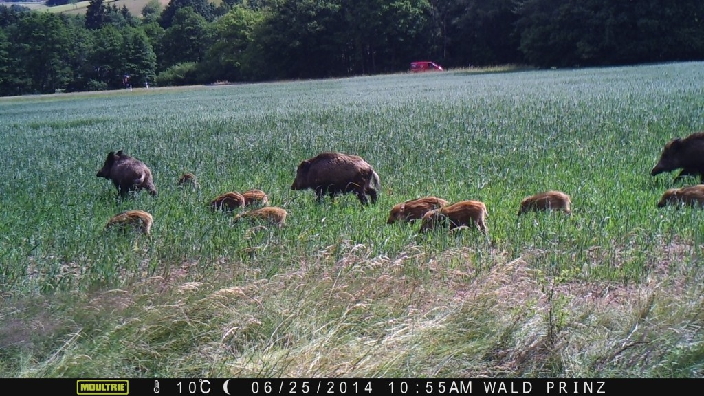 ..dann folgt die Wildkamera der Rotte auf der mittleren Position - Bild: Wildkamera-Test.com