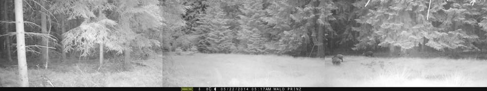 Diese Aufnahme einer Wildschweinrotte ist bemerkenswert. Eine reguläre Wildkamera hätte nur den mittleren Bereich überwacht und nicht ausgelöst. Aber selbst, wenn sie auf den richtigen Bereich ausgerichtet gewesen wäre, ist fraglich, ob sie überhaupt ausgelöst hätte. Schließlich sind die Wildschweine gut 20 Meter entfernt. Tolle Leistung! - Bild: Wildkamera-Test.com