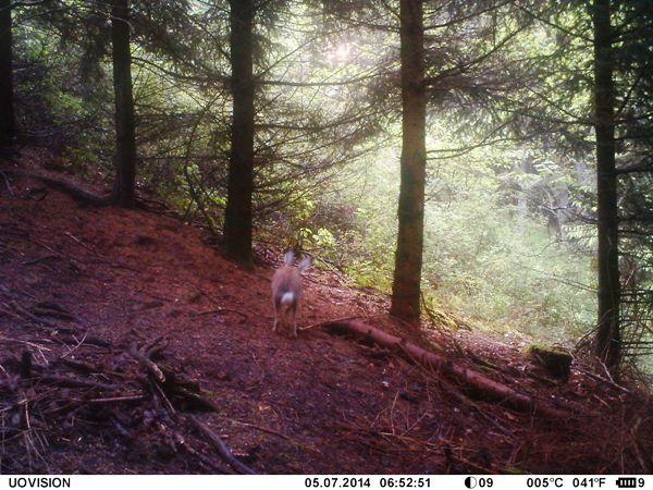 Der Hase läuft von hinten unter der SnapShot Mobil hindurch und wird trotzdem zuverlässig erfasst - das ist Auslösegeschwindigkeit! - Bild: Wildkamera-Test.com