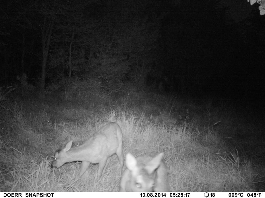 Nachtaufnahme Wildkamera Dörr SnapShot Mini