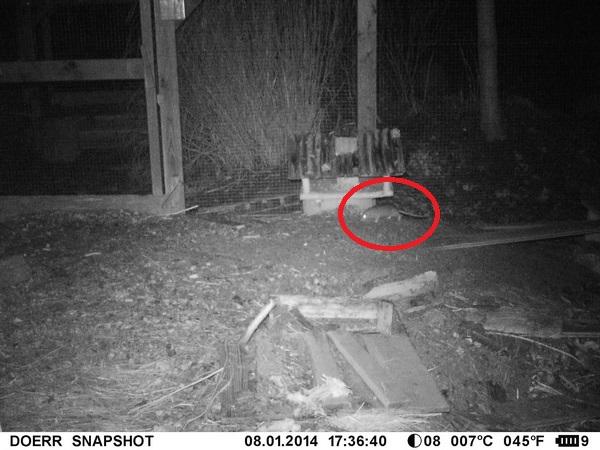 Die Dörr SnapShot Mini löst auch bei Kleintieren wie Mäusen, Vögeln, oder - wie in diesem Fall - Ratten zuverlässig aus - Bild: R. Breu