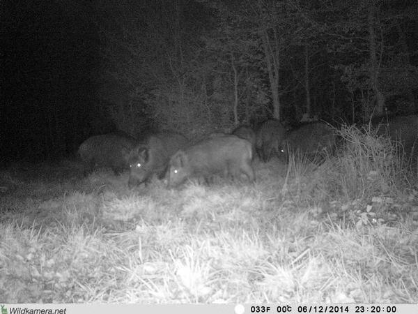 Flächig ausgeleuchtete Nachtaufnahme mit Details weit jenseits der 10 Meter-Grenze. Dank 940 nm-LEDs ist der Blitz auch für Wildschweine unsichtbar. Da will man mal nicht meckern - Bild: Wildkamera-Test.com