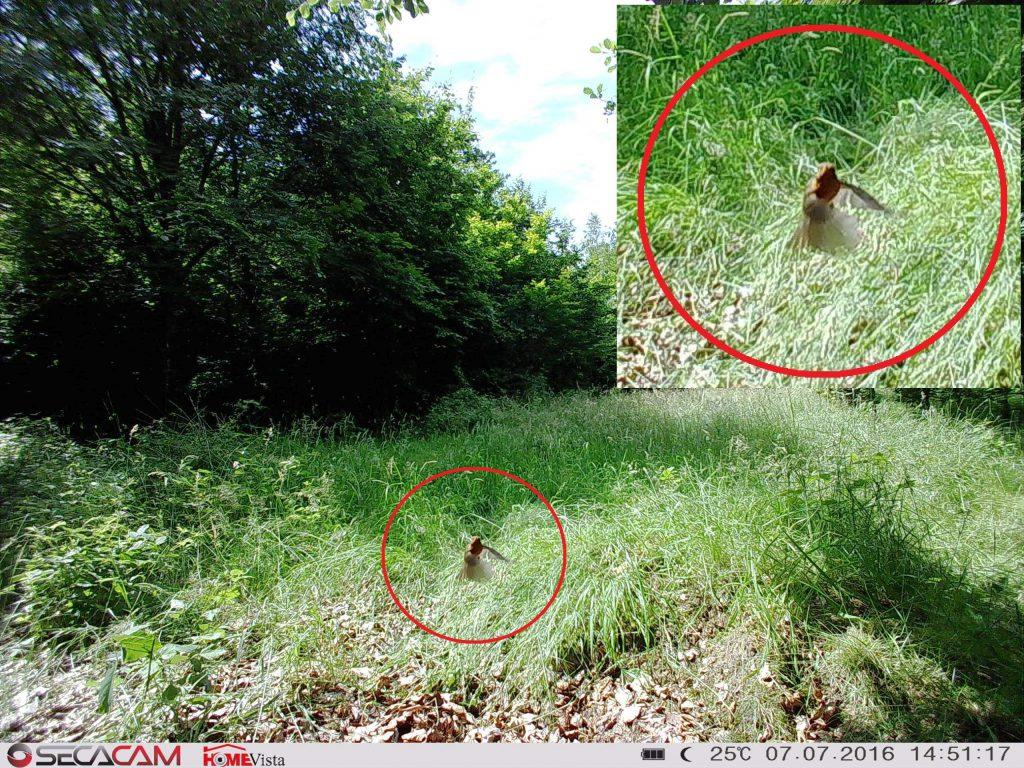 Schnell und Präzise! Die SecaCam HomeVista hat bei 25°C bei einem Vogel ausgelöst und diesen im Flug erfasst! - Bild: Wildkamera-Test.com